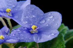 Violet with water drops Stock Photos