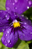 Violet With Water Drops. A closeup of a violet with water drops royalty free stock photos