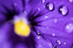 Violet With Water Drops. Closeup of a violet with water drops stock photo