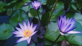 Violet water lilies Stock Photos