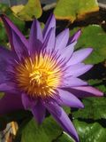 Violet water lilly Stock Photography