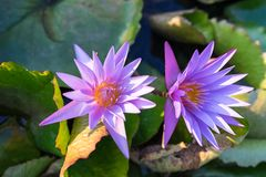 Violet water lilly Stock Photos