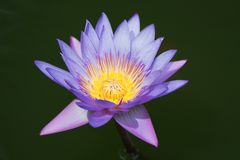 Violet water lily Royalty Free Stock Photos
