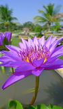 Violet water lily bloom in a pond Stock Images