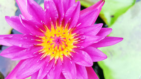 Violet water lily Stock Photos