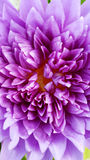 Violet water lily Royalty Free Stock Photo