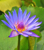Violet Water lily Stock Photography