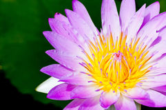 Violet of Water Lily Flower Royalty Free Stock Photo