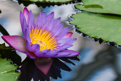 Violet water lily flower head Royalty Free Stock Image