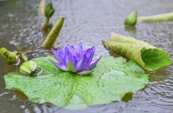 Violet water lily flower in the village pond. Macro: violet water lily flower and its buds in the pond Royalty Free Stock Images