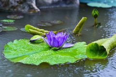 Violet water lily flower in the village pond. Macro: violet water lily flower and its buds in the pond Stock Image