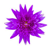 Purple water lily isolated Royalty Free Stock Image