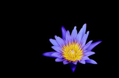 Violet water lily. Stock Photos