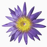 Violet water lily isolated on white background.  Stock Photo