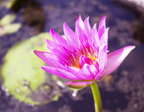 Violet water lily lotus flowers in the pool Stock Image