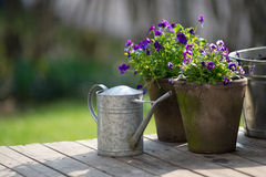 Violet and watering pot. Royalty Free Stock Photo