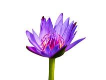 Violet waterlily eller lotusblommablomma Arkivbild