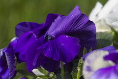 Violet wet from the rain in the garden. Colorful violet wet from the rain in the garden Stock Images