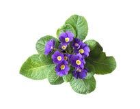 Violet On White Stock Photo