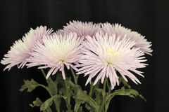 Violet White Chrysanthemum Flowers on Black. Tops of violet white chrysanthemum flowers with green leaves in front of a black curtain. Closeup of the top half of Stock Photo