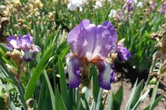 Violet and white flower of German iris. In May stock photos