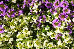 Violet white flowers in the garden shined at sun Stock Photos