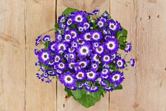 Violet and white flowers over wooden background Royalty Free Stock Photo