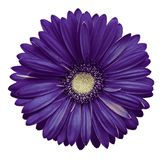 Violet-white gerbera flower, white isolated background with clipping path.   Closeup.  no shadows.  For design. Nature Stock Photos