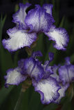 Violet and White Iris - cultivar Finish Line Stock Photography