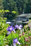 Violet and white iris flowers blooming on the garden background.  royalty free stock images