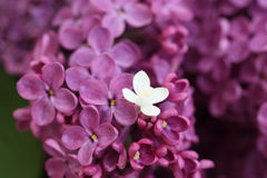 Violet and white Lilac. Beautiful Bunch of violet and white Lilac stock photos