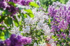 Violet and white  lilac Stock Images