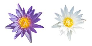 Violet and white lotus flower isolated. On white background Royalty Free Stock Photo