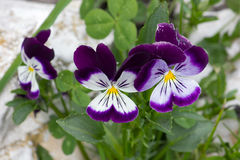 Violet and white pansies Royalty Free Stock Images