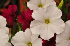 Violet and white petunias Stock Photography