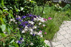Violet, white and pink flowers of aquilegia in the garden Royalty Free Stock Photography