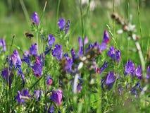 Violet Wild-bloemen - Trillende kleur Royalty-vrije Stock Foto's