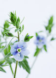Violet wild, close-up Royalty Free Stock Image