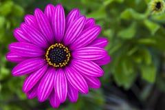 Violet wild daisy. Wildflower. Wild daisy purple. Macro. Zoom on pistil Royalty Free Stock Images