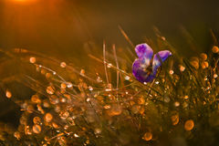 Violet wild flower Stock Image