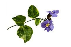 Violet wild flower Stock Images