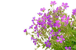 Violet wild flowers Stock Photo