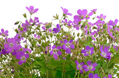 Violet wild flowers Royalty Free Stock Photos