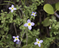 Violet wild flowers in the woods stock photography