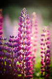 Violet wild-growing flowers of a lupine Stock Photos