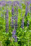 Violet wild lupine Royalty Free Stock Photo