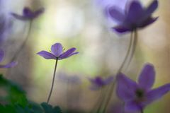 Violet wild wood anemone in shallow depth. Early spring wildflowers with a dreamy bokeh giving a dreamy romantic and fragile image stock photos