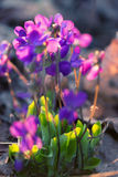 Violet wildflowers looking loke pansy royalty free stock photo