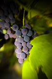Violet wine grapes Stock Images
