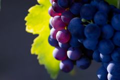 Violet wine grapes. Glowing violet wine grapes Royalty Free Stock Image